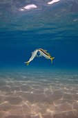 Goldsaddle Goatfish (Parupeneus forsskali), Red Sea, Marsa Alam, Abu Dabab, Egypt, Africa