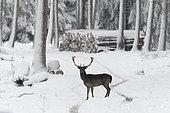 Fallow deer in wintertime, Cervus dama, Bavaria, Germany, Europe