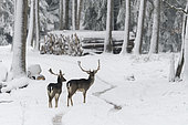 Fallow deers (Cervus dama) in wintertime, Bavaria, Germany, Europe