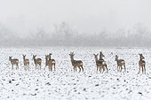 Western roe deers (Capreolus capreolus) at snow fall on field, Germany, Europe