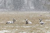 Western roe deers (Capreolus capreolus) at snow fall on meadow, Germany, Europe