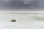 European brown hare on field at snow fall, Lepus europaeus, Germany, Europe