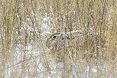 European brown hare (Lepus europaeus) in wintertime, Germany, Europe