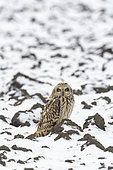 Short-eared owl (Asio flammeus) on field in wintertime, Hesse, Germany