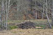Hutte de Castor d'Europe (Castor fiber) en lisière de forêt, Spessart, Hesse, Allemagne