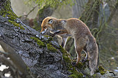 Red fox (Vulpes vulpes) on old tree trunk, Germany, Europe
