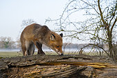 Red fox (Vulpes vulpes) on old tree trunk, Springtime, Germany, Europe