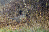 Wild boar (Sus scrofa) lies on the edge of a hedge, Spingtime, Hesse, Germany, Europe