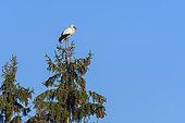 White stork on tree, Hesse, Germany, Europe