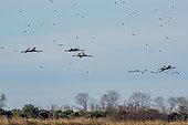 Commun Cranes (Grus grus) in flight in Camargue, France