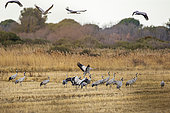 Commun Cranes (Grus grus) in a field in Camargue, France