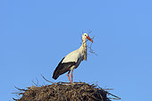 White stork (Ciconia ciconia) with nest material, Springtime, Hesse, Germany