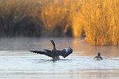 Greylag geese in morning light in pond, Anser anser, Springtime, Germany, Europe
