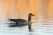 Greylag goose in morning light in pond, Anser anser, Springtime, Germany, Europe