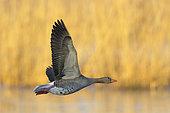 Greylag goose (Anser anser) in morning light flying over a pond, Springtime, Germany, Europe