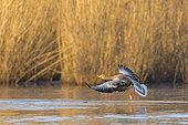 Greylag goose (Anser anser), in morning light flying over pond Springtime, Germany, Europe