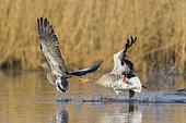 Oies cendrées (Anser anser) combat sur un étang, printemps, Allemagne