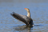 Greylag goose (Anser anser) in pond, Springtime, Germany, Europe