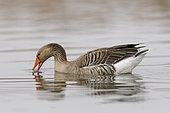 Greylag goose in pond, Anser anser, Springtime, Germany, Europe