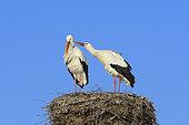 White storks (Ciconia ciconia) on nest, Springtime, Hesse, Germany, Europe