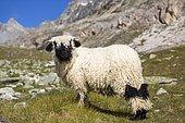 Valais Blacknose Sheep, at Höhbalmen, Zermatt, Canton of Valais, Switzerland, Europe