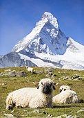 Valais Blacknose Sheep at Höhbalmen, the Matterhorn at the back, Zermatt, Canton of Valais, Switzerland, Europe