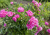 Paeonia lactiflora 'Souvenir de Gaspard Calot' Obtenteur : Calot (FRA) 1865