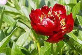 Paeonia lactiflora 'Belle Center' Obtenteur : Mains 1956
