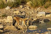 Chacal à chabraque (Canis mesomelas) sur la berge, Parc National d'Etosha, Namibie, Afrique
