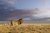 Lion (Panthera leo), walking in the savannah, Etosha National Park, Namibia, Africa