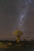 Quivertree forest or quiver tree (Aloidendron dichotomum) under the milky way, Gariganus farm, Keetmanshoop, Karas region, Namibia, Africa