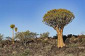 Quivertree forest or quiver tree (Aloidendron dichotomum), Gariganus farm, Keetmanshoop, Karas region, Namibia, Africa