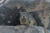 Rock hyrax or Cape hyrax (Procavia capensis), Quivertree forest or quiver tree (Aloidendron dichotomum), Gariganus farm, Keetmanshoop, Karas region, Namibia, Africa
