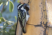 Acacia Pied Barbet or Pied Barbet (Tricholaema leucomelas), nesting in a quiver tree (Aloidendron dichotomum), Quivertree forest, Gariganus farm, Keetmanshoop, Karas region, Namibia, Africa
