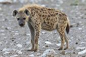 Spotted hyena (Crocuta crocuta), adult, Etosha National Park, Namibia, Africa