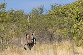 Black rhinoceros or hook-lipped rhinoceros (Diceros bicornis), in the savannah, Kalahari Desert, South African Republic, Southern Africa, Africa