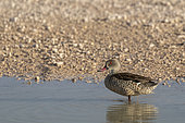 Red-billed teal or red-billed duck (Anas erythrorhyncha), Etosha National Park, Namibia, Africa