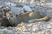 Yellow mongoose (Cynictis penicillata), Etosha National Park, Namibia, Africa