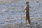 Yellow mongoose (Cynictis penicillata), standing up, Etosha National Park, Namibia, Africa