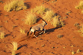 Oryx gazelle or gemsbok (Oryx gazella) running, aerial view, Sossusvlei dunes, Namib Erg classified World Heritage by UNESCO, Namib-Naukluft National Park, Namib desert, Hardap region, Namibia