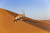 Oryx gazelle or gemsbok (Oryx gazella), aerial view, Sossusvlei dunes, Namib Erg classified World Heritage by UNESCO, Namib-Naukluft National Park, Namib desert, Hardap region, Namibia