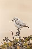 Tractrac Chat (Emarginata tractrac), Dorob National Park, Swakopmund, Namibia, Africa