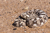 Horned Adder (Bitis caudalis) on sand, Dorob National Park, Swakopmund, Namibia, Africa