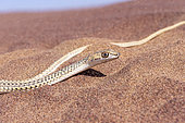 Namib Sand Snake (Psammophis namibensis) portrait, Dorob National Park, Swakopmund, Namibia, Africa