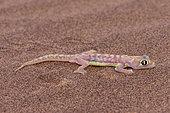 Web-footed Gecko or Namib web-footed gecko (Palmatogecko rangei), Dorob National Park, Swakopmund, Namibia, Africa