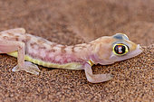 Web-footed Gecko or Namib web-footed gecko (Palmatogecko rangei), portrait, Dorob National Park, Swakopmund, Namibia, Africa