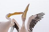 Great white pelicans (Pelecanus onocrotalus) pair, Walvis bay, Namibia, Africa