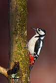 Great spotted woodpecker (Dendrocopos major) perched on a tree, England