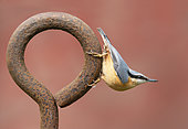 Nuthach (Sitta europaea) perched on a steel ring, England
