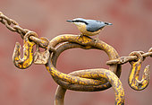Nuthach (Sitta europaea) perched on an old chain, England